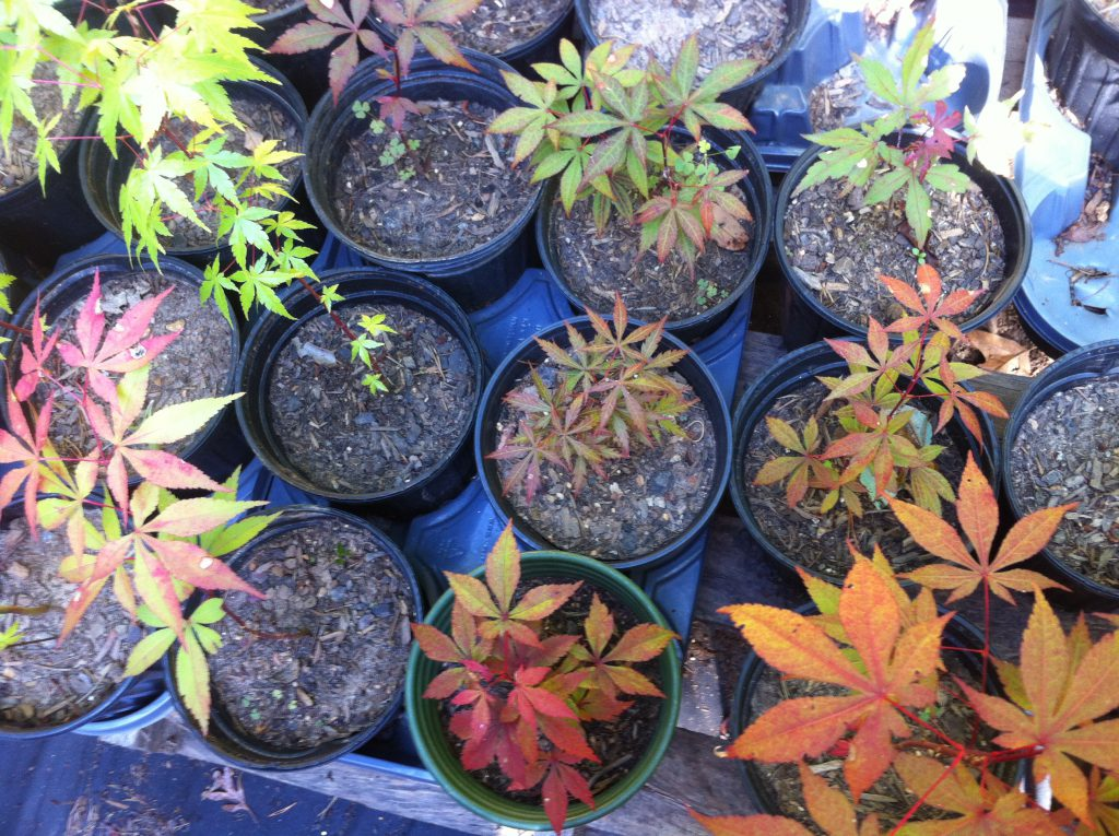 Japanese Maple Trees Variety Beauty And Survivability Planet
